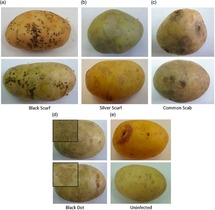 Potato Disease Classification Using Convolution Neural Networks