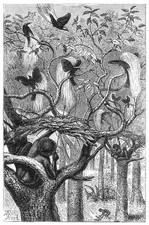 Flights of fancy: The bird of paradise and its cultural impact