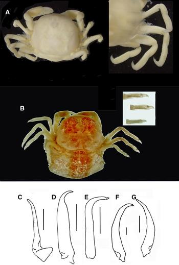 A New Species Of Pea Crab From South Western Europe Crustacea Decapoda Brachyura Species Description Geographic Distribution And Population Structure With An Identification Key To European Pinnotheridae Journal Of The Marine Biological