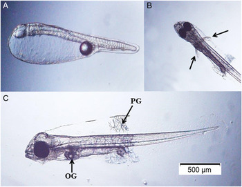 Embryonic and early larval development of two marine angelfish, Centropyge  bicolor and Centropyge bispinosa   Zygote   Cambridge Core