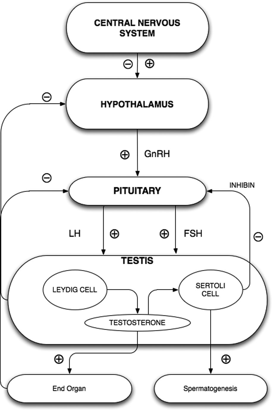 Functional anatomy of the hypothalamic–pituitary–gonadal