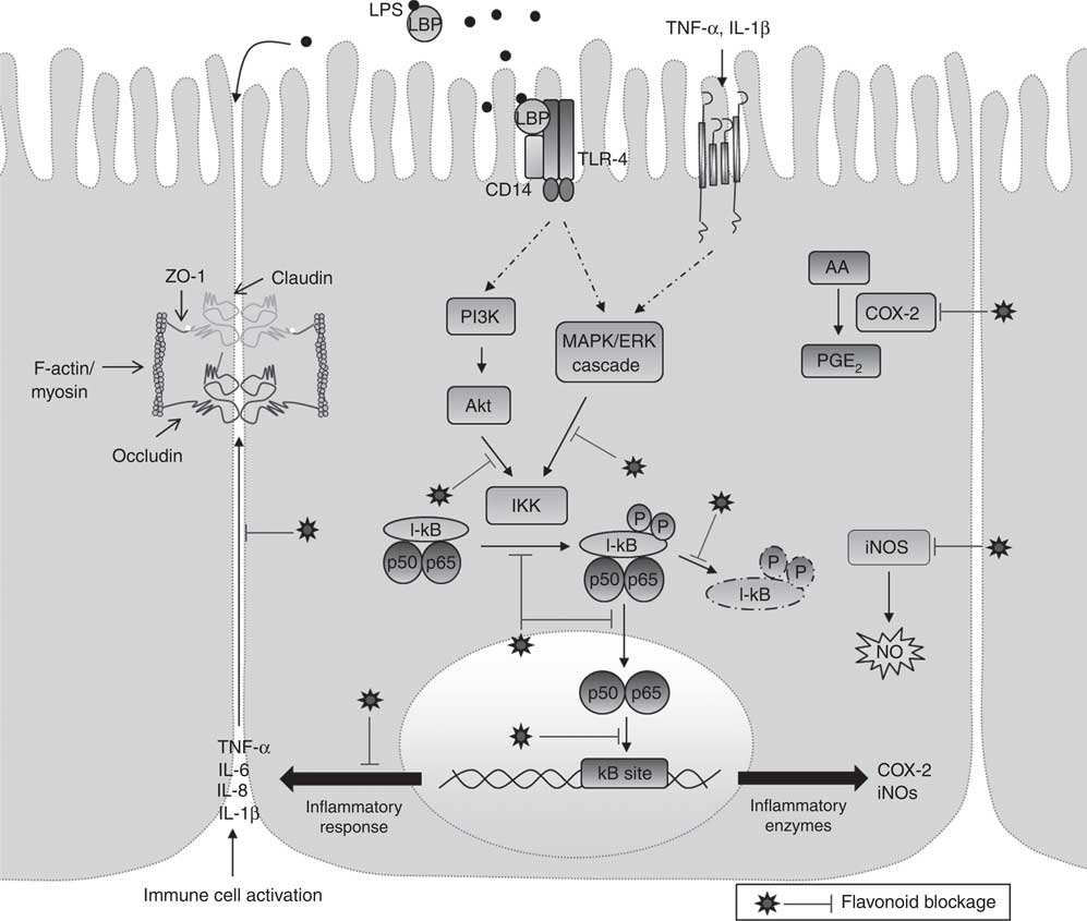 Effects Of Flavonoids On Intestinal Inflammation Barrier Integrity And Changes In Gut Microbiota During Diet Induced Obesity