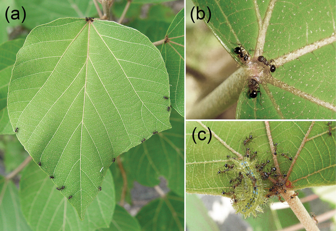 Ant Plant Protection Systems Under Variable Habitat Conditions Part Iii Ant Plant Interactions