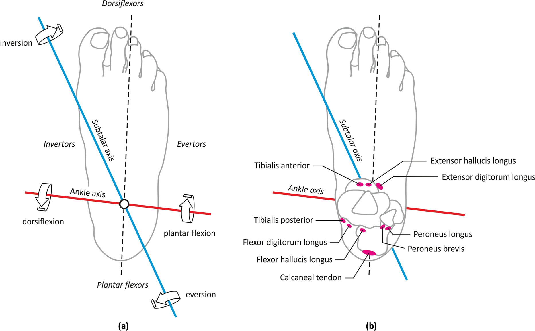 Biomechanics of the Foot and Ankle (Chapter 2) - Core Topics