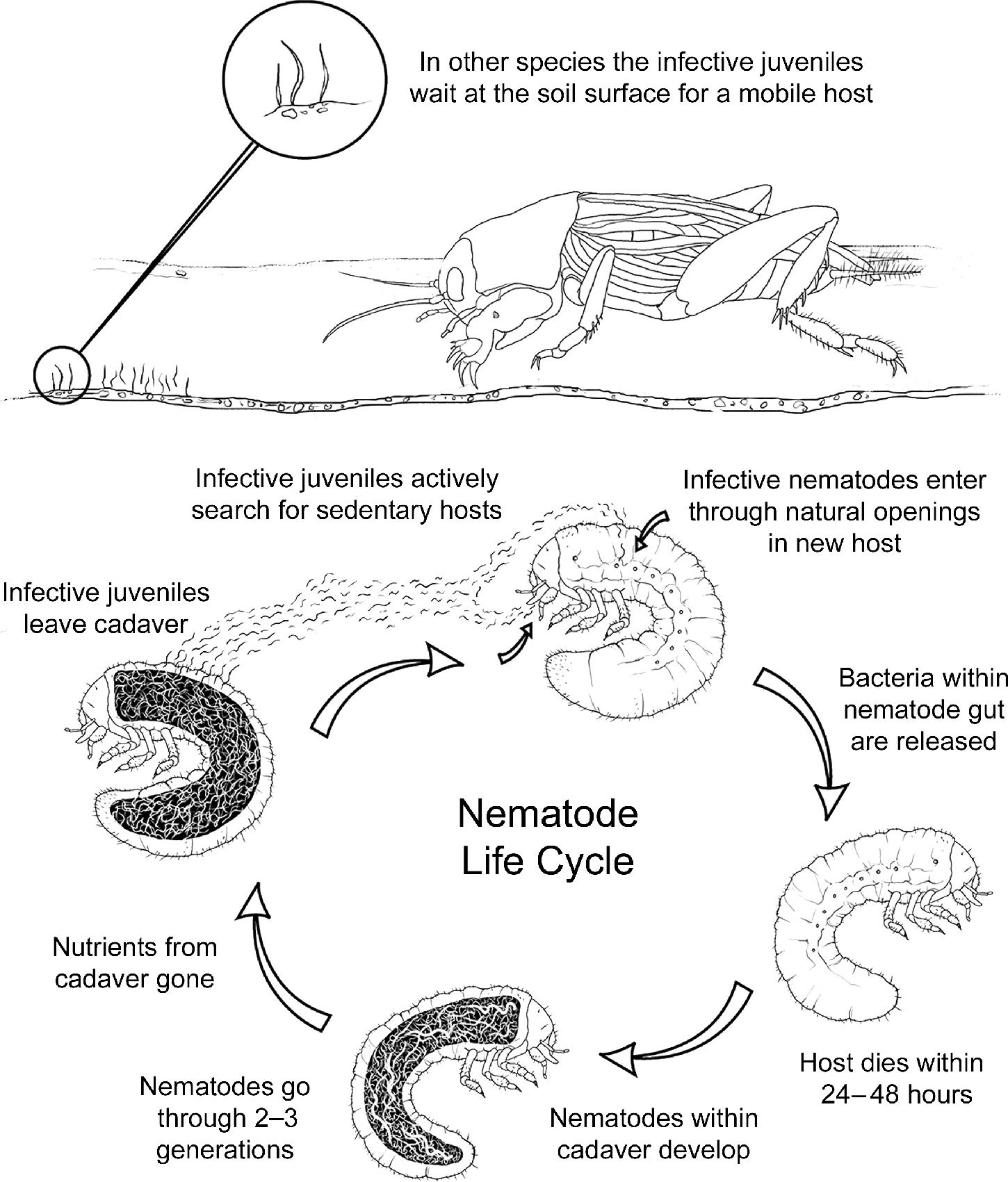 Biocontrol Agents Entomopathogenic and Slug Parasitic Nematodes