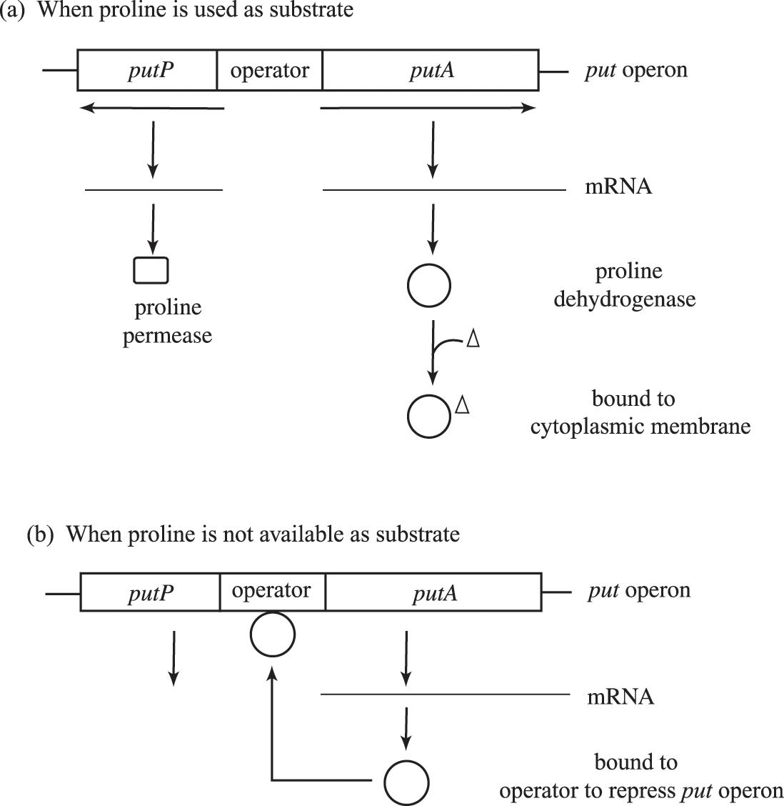 Metabolic regulation (Chapter 12) - Prokaryotic Metabolism