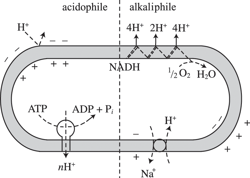 Tricarboxylic acid (TCA) cycle, electron transport and