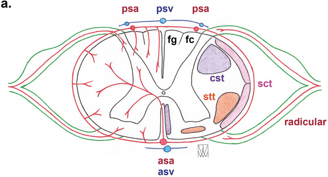 Soes 1 3 Answers Section 4 Anatomy For The Frca (a) filum terminale internum, and (b) filum terminale externum. anatomy for the frca