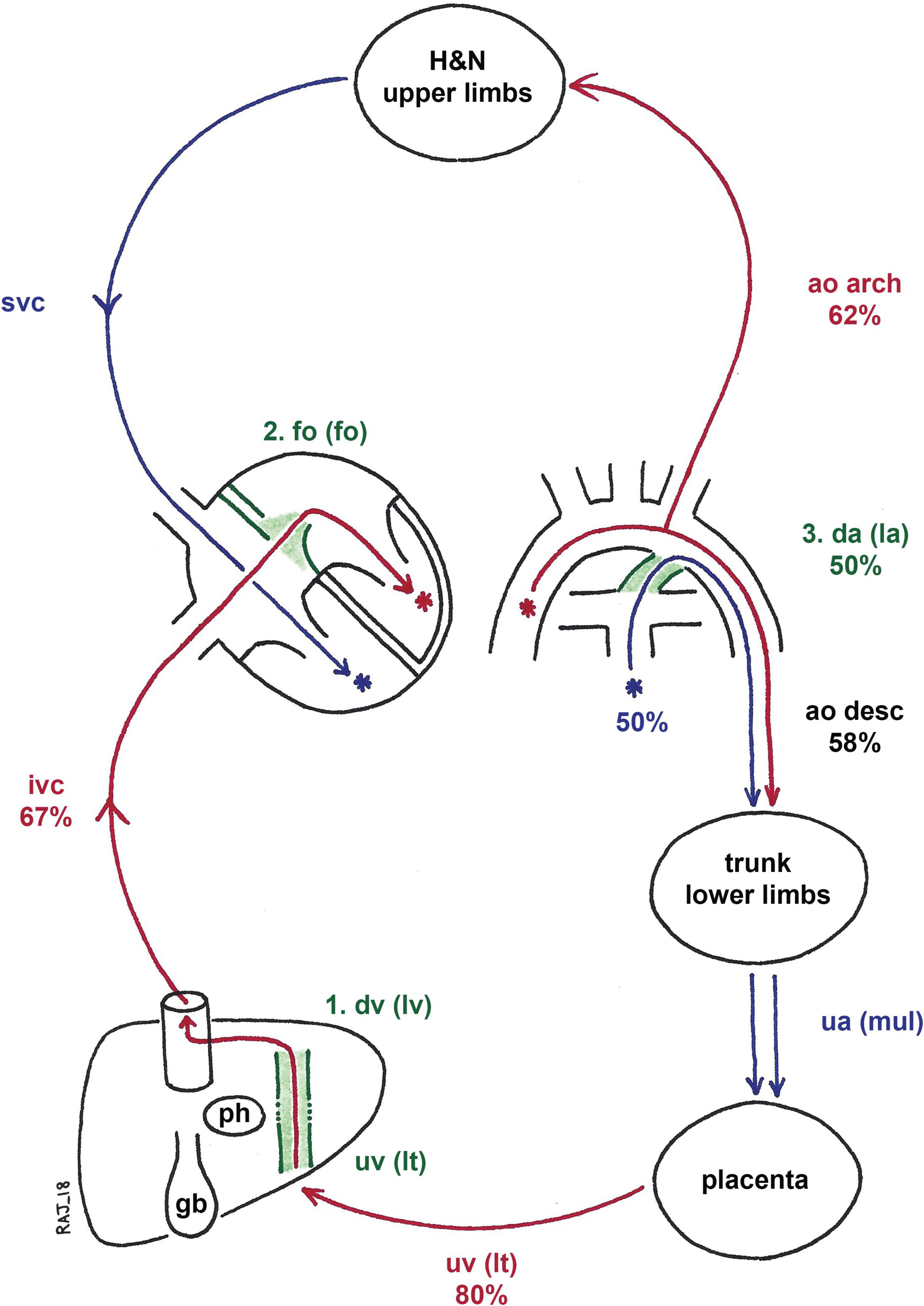 Fetal Circulation SOE 40b   Anatomy for the FRCA