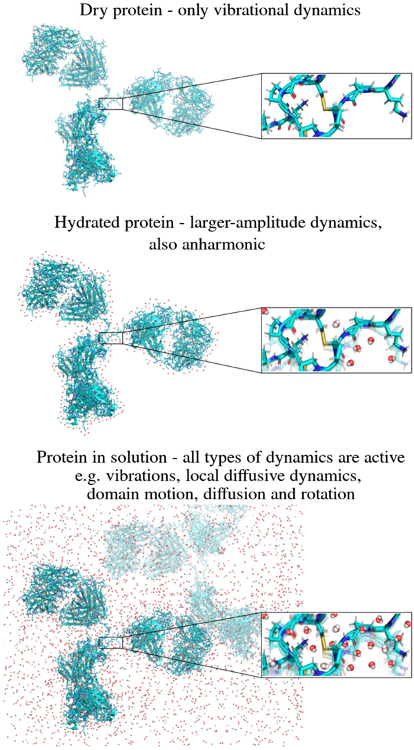 Dynamics of proteins in solution