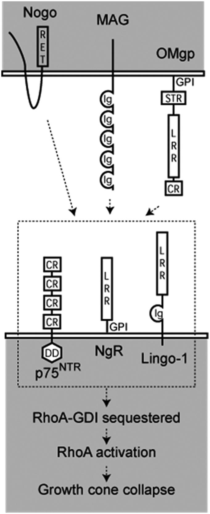 Neural repair: basic cellular and molecular processes