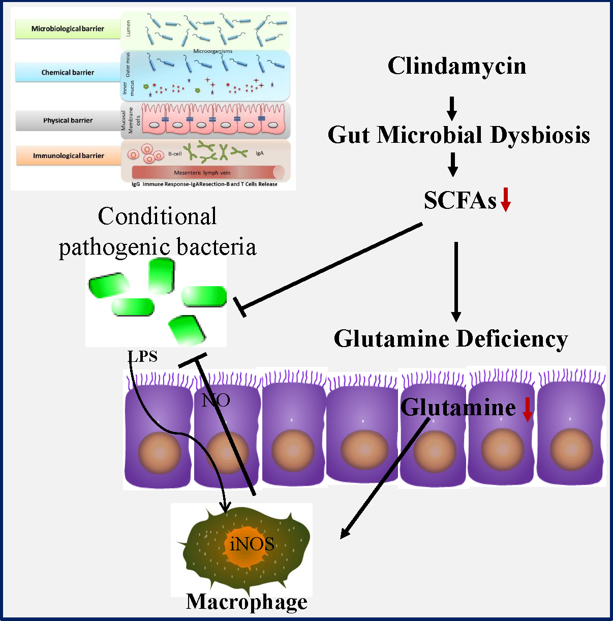 Dysbiosis lps Irritable bowel syndrome and probiotics place in therapeutic strategies