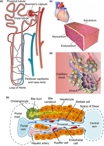 MRS Communications: Biomaterials for 3D Cell Biology