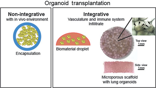 Take A Deep Breath And Digest The Material Organoids And Biomaterials Of The Respiratory And Digestive Systems Mrs Communications Cambridge Core