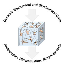 Dynamic Bioengineered Hydrogels As Scaffolds For Advanced Stem Cell And Organoid Culture Mrs Communications Cambridge Core